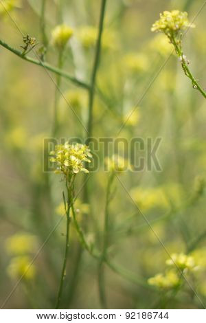 Stems Of Yellow Mustard Plant