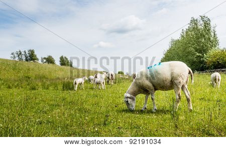 Sheep Grazing Next To A Dike