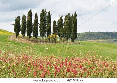 Cypress grove among hills. Tuscany, Italy
