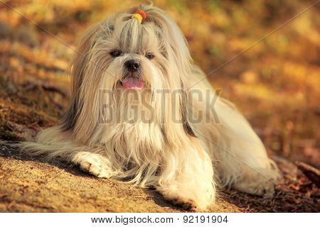 Shih-tzu dog lying on ground portrait. Sunset golden colors.