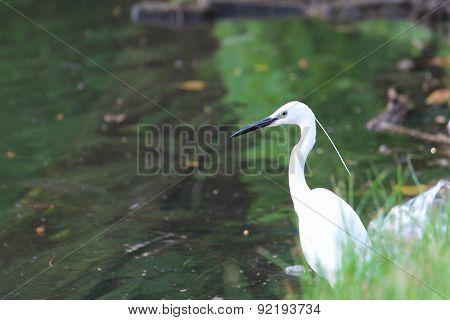 white egret at the lake