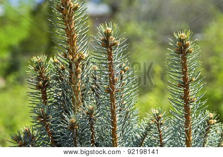 Fresh Treetops Of Small Spruces.