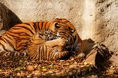 foto of tigers-eye  - The tiger mum in the zoo with her tiger cub  - JPG