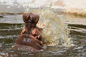 picture of hippopotamus  - Hippo  - JPG