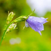 image of harebell  - bluebell flower with rain drops on a green blur background closeup  - JPG
