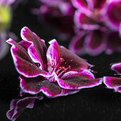 picture of geranium  - beautiful spa concept of geranium flower in reflection water Royal Pelargonium closeup  - JPG