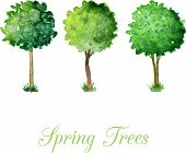 picture of tree trim  - Three flowering trees trimmed in the shape of a ball - JPG