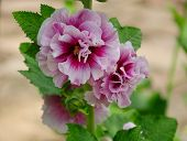 picture of hollyhock  - Purple and white hollyhocks blooming at a garden in Wuxi China - JPG