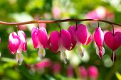 stock photo of broken heart flower  - Flower Dicentra another name a broken heart popular with people in the gardens - JPG