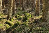 pic of decomposition  - The primeval forest with the mossed ground - JPG