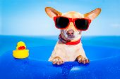 foto of mattress  - chihuahua dog on a mattress in the ocean water at the beach enjoying summer vacation holidays wearing red sunglasses with yellow plastic rubber duck - JPG