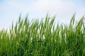stock photo of spike  - green spikes in a barley field against the sky - JPG