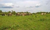 stock photo of herd horses  - Herd of wild horses grazing in nature in spring - JPG