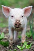 stock photo of piglet  - Piglet on spring green grass on a farm - JPG