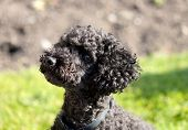 stock photo of poodle  - A Black Toy Poodle sitting in the sun - JPG