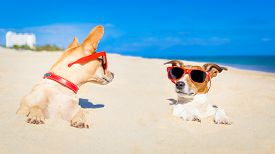 stock photo of toy dogs  - couple of two dogs buried in the sand at the beach on summer vacation holidays having fun and enjoying wearing red sunglasses fun and enjoying wearing red sunglasses - JPG