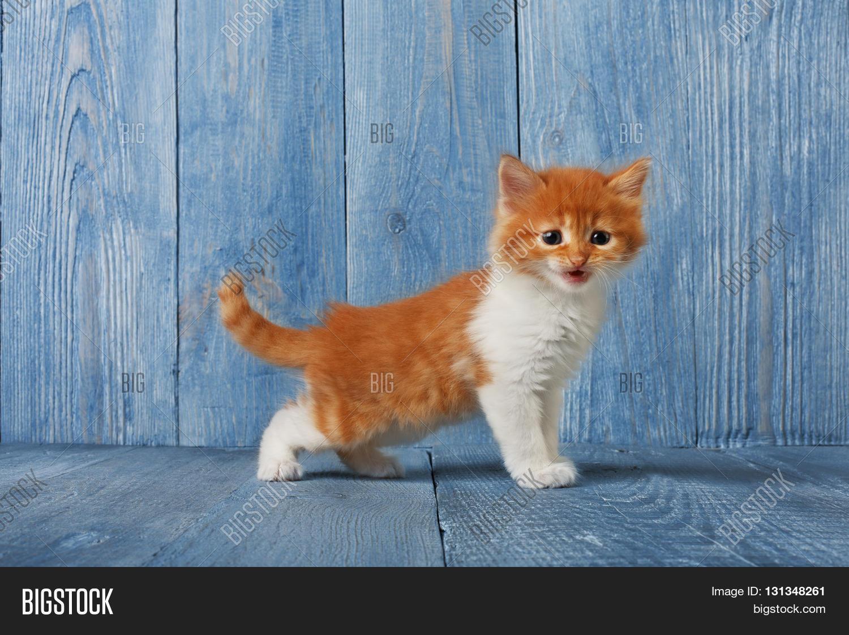 Ginger Kitten White Chest Long Image &
