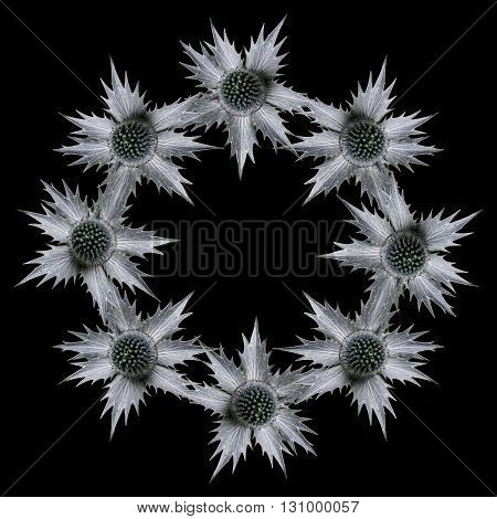 Single eryngium flower common name sea holly repeated in a circle pattern on a black background