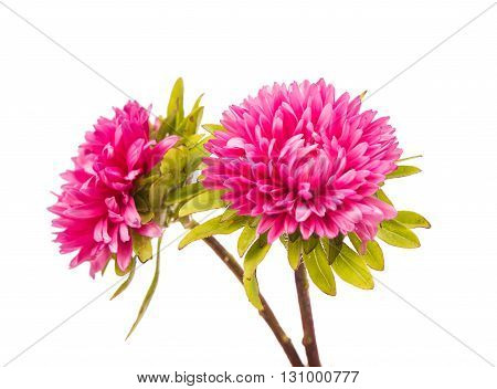 flower, pink aster isolated on white background