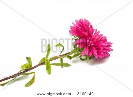 purple, beauty aster isolated on white background
