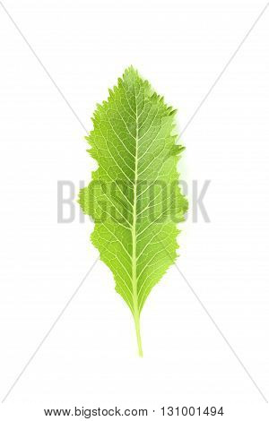Sheet of horseradish isolated on white background.