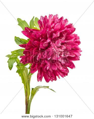 flower pink aster isolated on white background