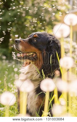 bernese mountain dog sitting in dandelions toned image