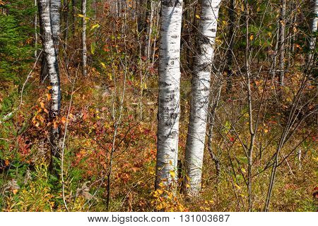 Trunks of birch trees in the autumn forest Marinette county Wisconsin