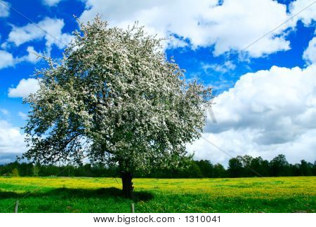 Blooming Apple Tree In A Green Meedow