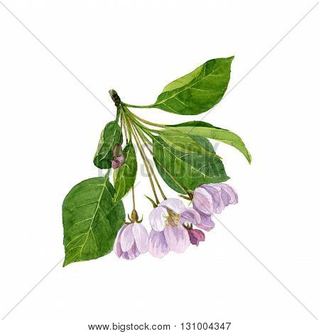 watercolor pink apple tree flowers, apple tree blossoms, buds and leaves, hand drawn artistic illustration