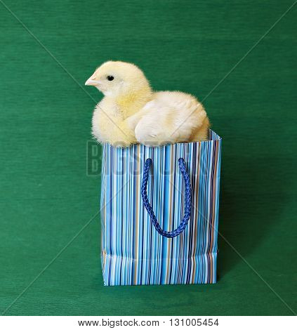 Nestling little yellow chick in blue gift pack on green background