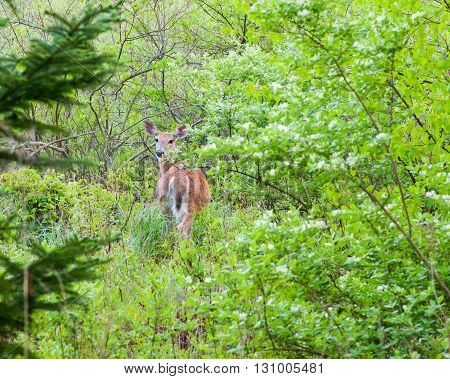 A whitetail deer doe standing at the edge of the woods.