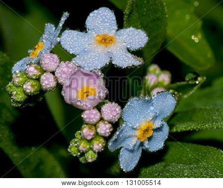 Macro closeup of Forget Me Not flowers.