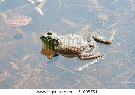 Bullfrog sitting on top of the water in a swamp.