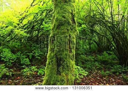 a picture of an Pacific Northwest forest mossy maple tree