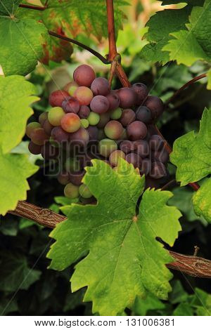 Red Grapes From The Farm