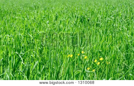 Field Of Oats