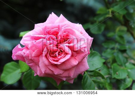 A rose is a woody perennial flowering plant of the genus Rosa in the family Rosaceae or the flower it bears. There are over a hundred species and thousands of cultivars.