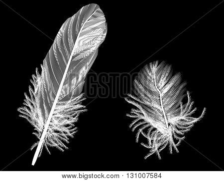 illustration with two feathers isolated on black background
