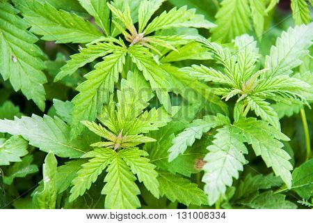 A full frame of marijuana foliage, background wallpaper.