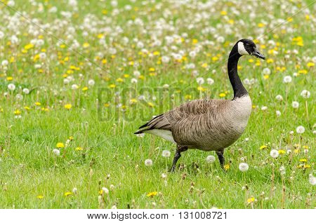Canada goose walking on a grass full of dandelions