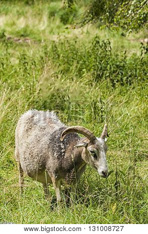 A farmyard goat feeds on some lush grassland.