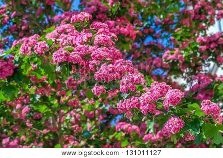 Pink blooming flowers tree branch spring background with beautiful bokeh.