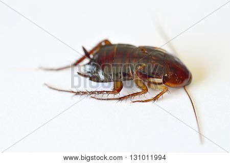Close-up Of Brown Cockroach