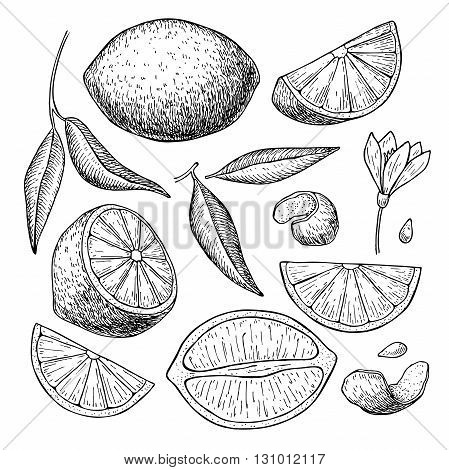 Vector hand drawn lime or lemon set. Whole lemon sliced pieces half leafe and seed sketch. Tropical summer fruit engraved style illustration. Detailed citrus drawing. Great for water juice detox drink natural cosmetics