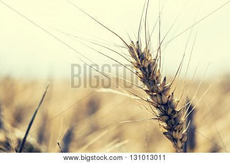 Wheat.  Wheat closeup. Toned photo. Golden wheat field and sunny day.