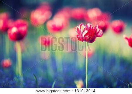 Tulips. Red tulips. Tulips in park garden.