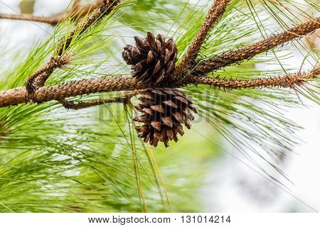 seeds of Khasiya Pine on forest moutaint in Phu Rua National ParkThailand.