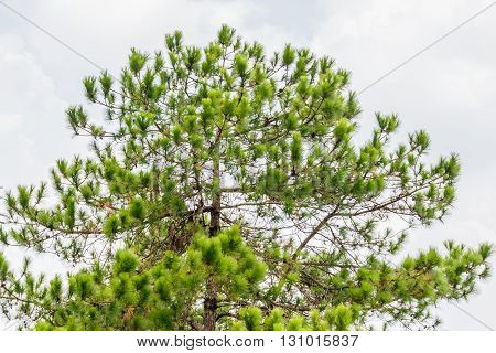 Khasiya Pine on forest moutaint in Phu Rua National Park ,Loie,Thailand.