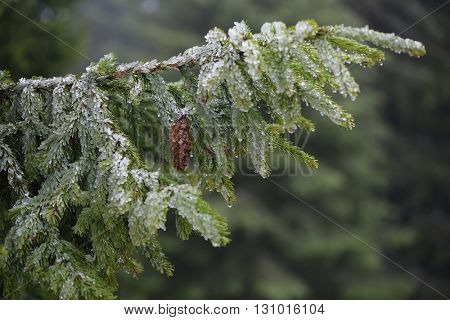 Spruce branch with cone. Trees in hoarfrost. Spring in mountain forest